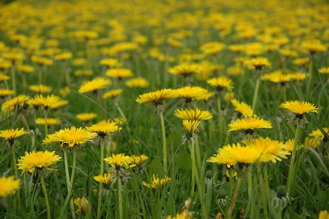 Dandelions are easy to find and can be quite tasty